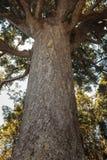 Grande albero del kauri Immagini Stock