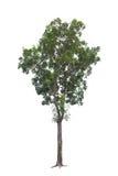 Grande albero del primo piano isolato su bianco immagine stock