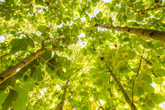 Grande albero del tek, fresco verde Fotografie Stock