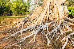 Grande albero della radice Immagini Stock