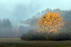 Grande albero di acero con il fogliame arancio di autunno su una mattina nebbiosa Fotografia Stock