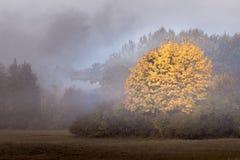Grande albero di acero con il fogliame arancio di autunno su una mattina nebbiosa Fotografie Stock