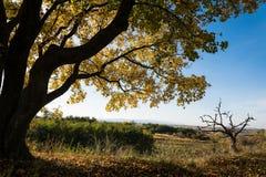 Grande albero di acero con le foglie gialle in autunno sotto cielo blu fotografie stock