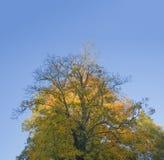 Grande albero di acero giallo arancione di autunno sul fondo del cielo blu Fotografie Stock