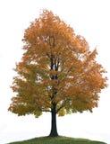 Grande albero di acero solo isolato Fotografie Stock Libere da Diritti