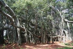 Grande albero di Bunyan Fotografia Stock