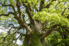 Grande albero di canfora Immagini Stock
