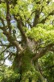 Grande albero di canfora Immagine Stock