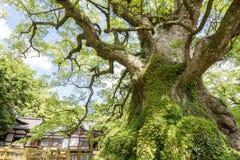 Grande albero di canfora Fotografia Stock