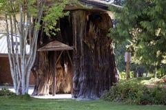 Grande albero di cedro Immagine Stock Libera da Diritti