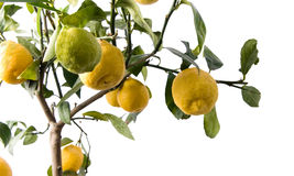 GRANDE albero di limone - isolato immagine stock