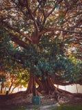 Grande albero di ombu nel parco immagini stock libere da diritti
