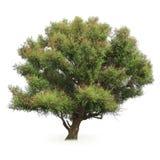 Grande albero di pioppo Fotografia Stock