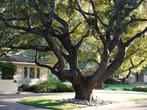Grande albero di quercia Immagine Stock