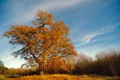 Grande albero di quercia in autunno Fotografia Stock