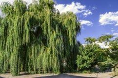 Grande albero di salice antico su fondo del cielo soleggiato Immagini Stock Libere da Diritti