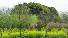 Grande albero dopo il seme di ravizzone e l'orata fotografia stock libera da diritti
