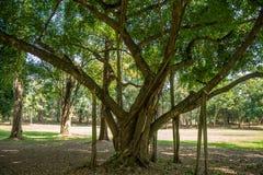 Grande albero fertile con le radici che crescono giù per sostenere i rami in parco pubblico i giorni soleggiati fotografie stock