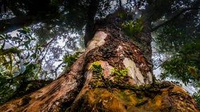 Grande albero in foresta pluviale, Kilimanjaro Fotografia Stock