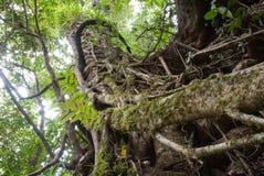 Grande albero in foresta pluviale tropicale Fotografia Stock