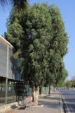 Grande albero fra il bazar della città e la strada Fotografia Stock