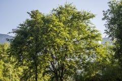 Grande albero frondoso immagini stock