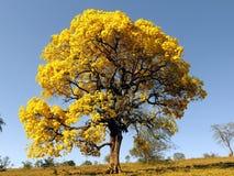 Grande albero giallo Ipê albero giallo coperto in fiori & x28; Albus& x29 di Handroanthus; fotografie stock libere da diritti