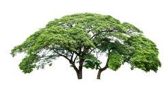 Grande albero isolato Fotografia Stock Libera da Diritti