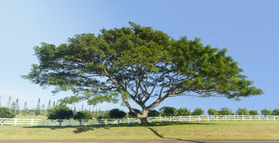 Grande albero Kauai di koa o dell'acacia Immagine Stock Libera da Diritti