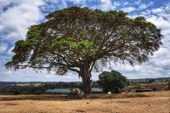 Grande albero in parco nazionale Ngoro Ngoro Fotografia Stock Libera da Diritti