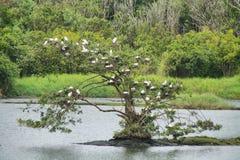 Grande albero in pieno degli uccelli dell'airone guardabuoi immagini stock libere da diritti