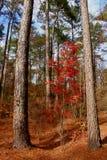 Grande albero, poco albero Fotografie Stock
