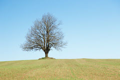 Grande albero solo al campo Immagine Stock Libera da Diritti
