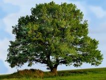 Grande albero solo sull'orlo di un prato nel prima serata Immagine Stock