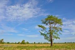 Grande albero sul giacimento del riso nell'ora legale fotografie stock