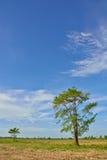 Grande albero sul giacimento del riso nell'ora legale fotografia stock libera da diritti