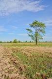 Grande albero sul giacimento del riso nell'ora legale immagine stock libera da diritti