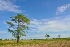 Grande albero sul giacimento del riso nell'ora legale fotografie stock libere da diritti
