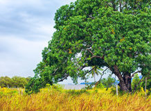 grande albero in Tailandia Fotografie Stock