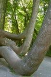 Grande albero torto Fotografia Stock