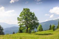 Grande albero verde che sta sul prato dell'erba in montagne Fotografia Stock