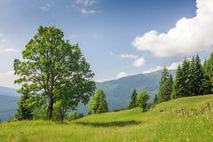 Grande albero verde che sta sul prato dell'erba in montagne Immagini Stock Libere da Diritti