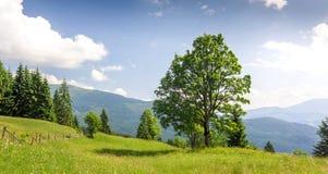 Grande albero verde che sta sul prato dell'erba in montagne Fotografia Stock Libera da Diritti