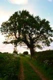 Grande albero vicino alla strada/percorso rurali nel prato, Norfolk, Regno Unito Fotografia Stock Libera da Diritti