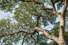 Grande albero vigoroso con le foglie verdi della molla Fotografia Stock