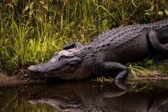 Grande alligator mississippiensis minaccioso dell'alligatore americano Fotografia Stock Libera da Diritti