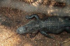 Grande alligator mississippiensis minaccioso dell'alligatore americano Fotografie Stock Libere da Diritti