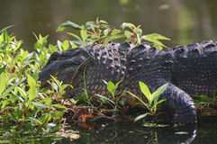 Grande alligatore adulto Immagini Stock Libere da Diritti