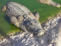 Grande alligatore americano Immagini Stock