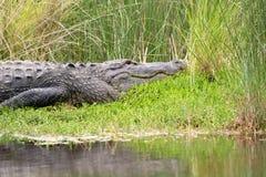 Grande alligatore americano Fotografie Stock Libere da Diritti